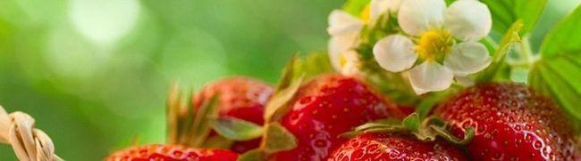 Вирощування полуниці в теплиці - всі подробиці процесу від досвідчених садівників