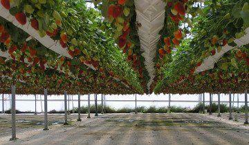 Голландська технологія висадки полуниці, scoutnetworkblog.com