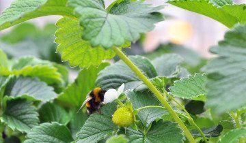 Бджола на квітучої полуниці в теплиці, tatar-inform.ru