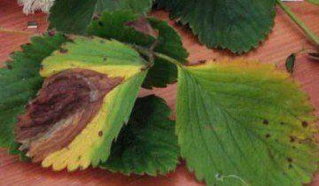 Бура плямистість на полуниці, strawberryplants.org