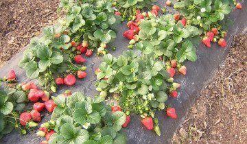 Вирощування полуниці в закритому ґрунті, fermer.ru