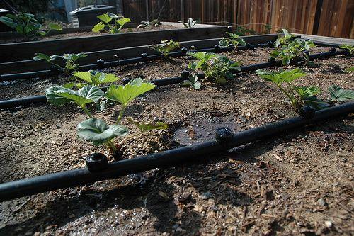 вирощування полуниці з поливом