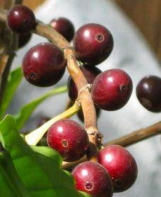 Вирощування кавового дерева в домашніх умовах