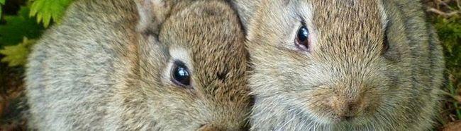 На фотографії пара кроликів