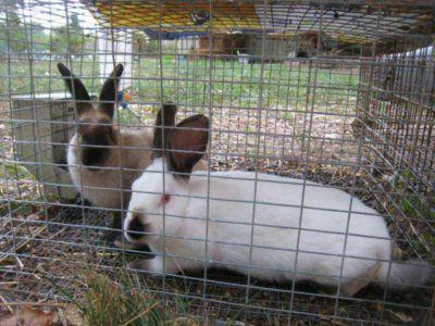 На фото два кролика в клітці