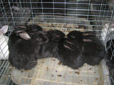 На зображенні чорні кролики