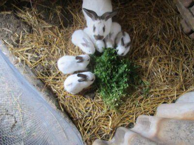 На знімку кролики їдять