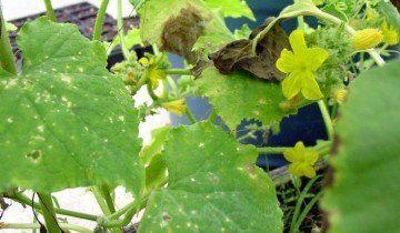 Як правильно вирощувати огірки, davesgarden.com