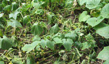 Огірки на дачі, calgarden.org