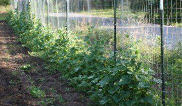 Технологія вирощування огірків, photobucket.com