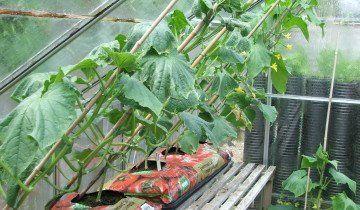 Огірки в теплиці, wordpress.com