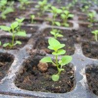 Вирощування посадкового матеріалу хризантем