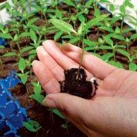 Вирощування розсади перцю