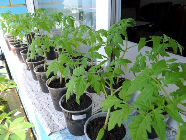 posev tomatov na rassadu