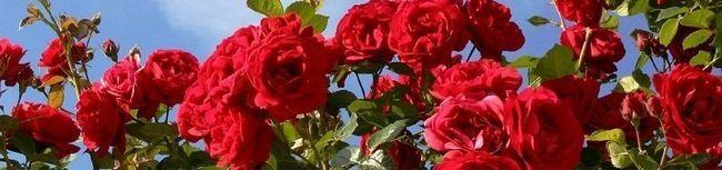 Вирощування троянд з букета або нове життя зрізаних квітів