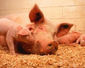 Вирощування свиней в домашніх умовах