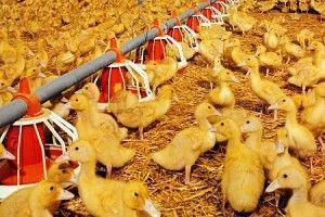Вирощування качок