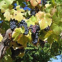 Вирощування винограду
