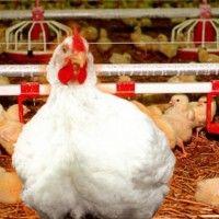 Вирощування курчат-бройлерів