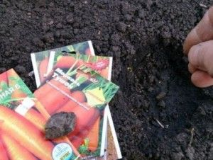 як правильно посадити морква насінням