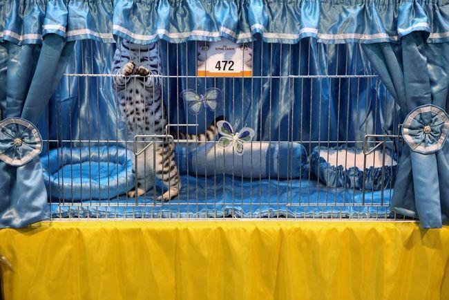Виставка кішок (Governing Council of the Cat Fancy)
