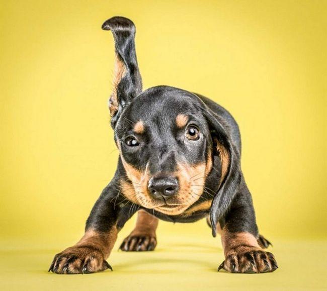 Вінсент, 8-тижневий щеня такси намагається обтрусити вухо від крапельок води.