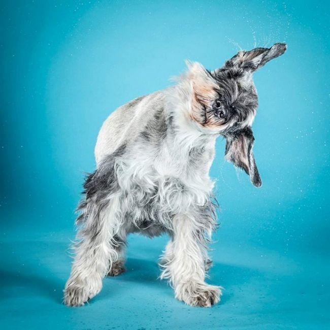 Соул, 8-річний шнауцер. Коли його колишній господар раптово захворів, псу знадобився новий будинок. Фотограф взяла його до себе. Вона не дарма помістила його в один ряд з цуценятами, вона сказала: