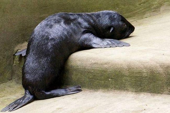 Кумедний морський котик із зоопарку Wroclaw Zoo