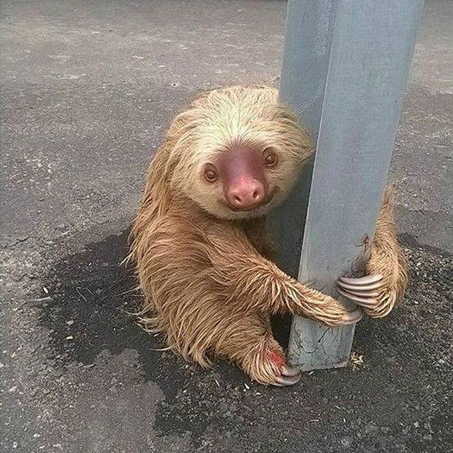 Заблукав лінивець підкорив користувачів мережі по всьому світу