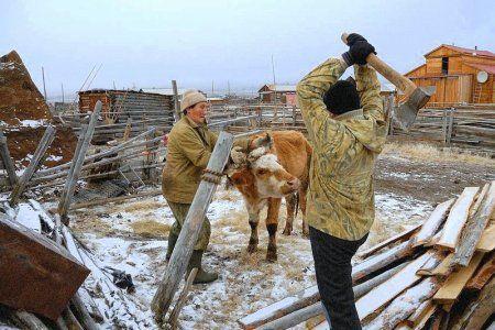 Забій і обробка бика