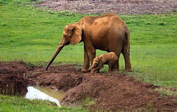 дбайлива слониха
