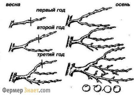 формування крони