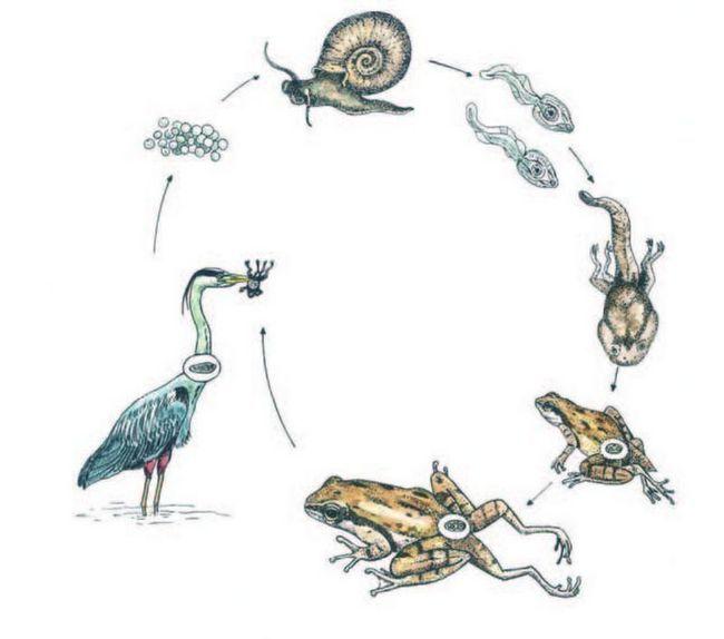 Навіщо жабі зайві лапи?