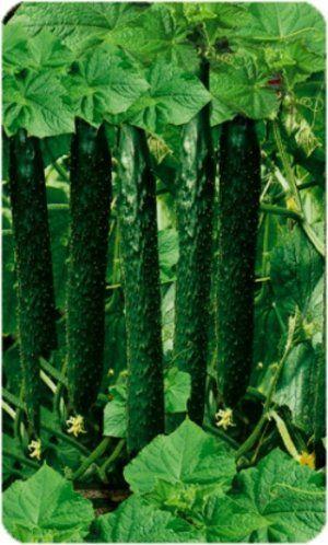 Довжина плодів досягає 50 см