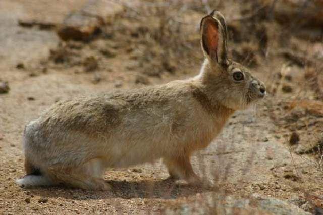 Заєць-толай не зустрічається в саксаульниках і солончаках.