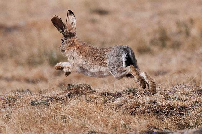 Заєць-толай уникає занадто засніжених територій.