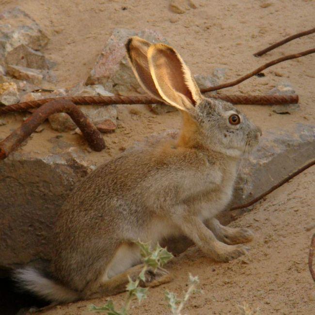 Хутро зайця-толая кучерявий і хвилястий.