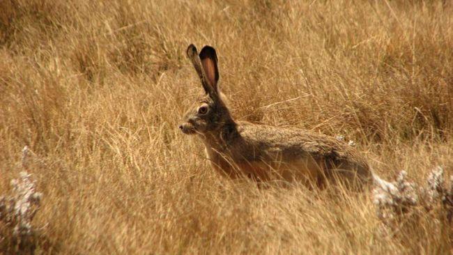 По дорозі з полювання до нори толай, подібно до всіх зайцям, заплутує сліди.