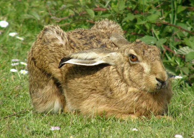 Заєць-русак (Lepus europaeus)
