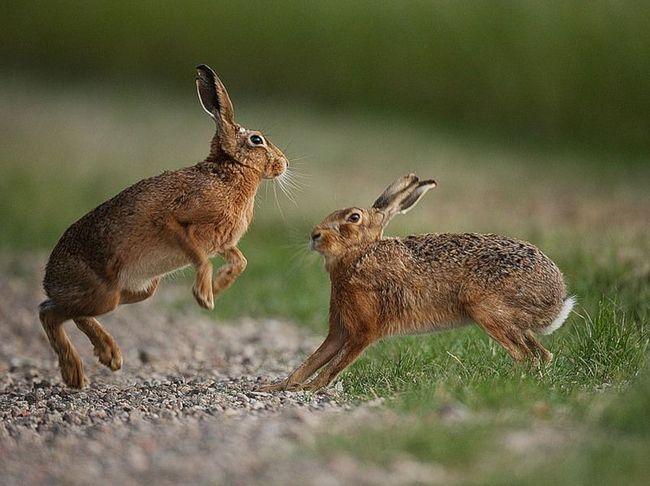 Шлюбні ігри зайців-русаків