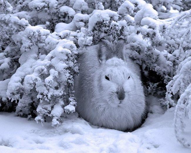 Відносно житла зайці «вічні мандрівники», які ночують під будь-яким мало-мальськи зручним кущем