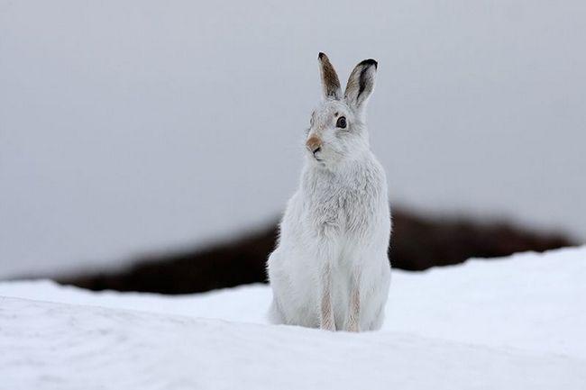 Заєць-біляк (Lepus timidus)
