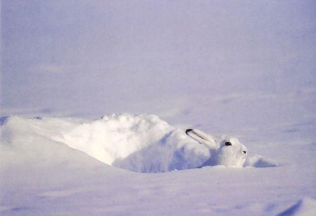 Взимку на тлі суцільного снігового покриву біле хутро відмінно маскує зайця-біляка