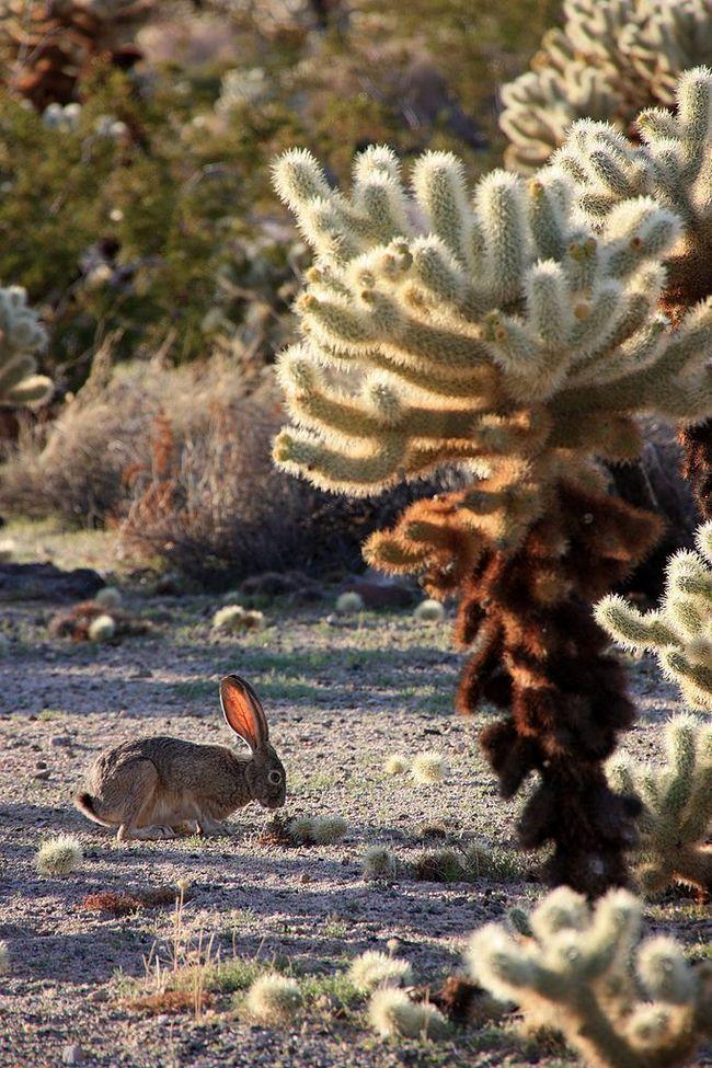 На фото зображений саме заєць, а не кролики, які теж широко поширені в Америці