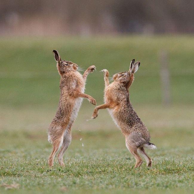 Зайці-русаки в рукопашному бою за володіння самкою