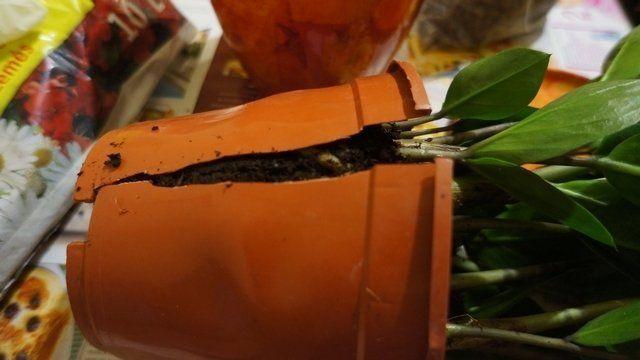 Розрізаний горщик з заміокулькаса