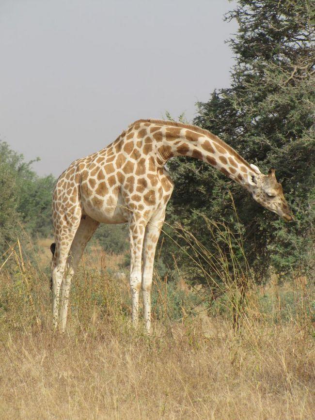 Західноафриканський жираф (Giraffa camelopardalis peralta).