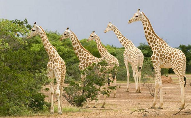 . Західноафриканський жираф знаходиться під загрозою зникнення.