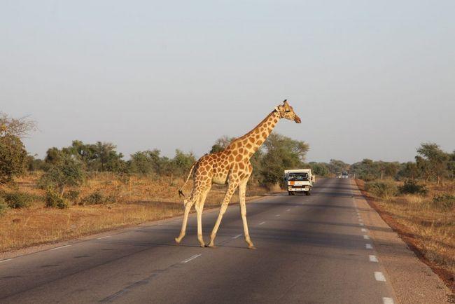 Чисельність популяції західноафриканських жирафів не перевищує 175 тварин.