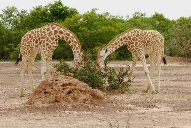Жирафи - травоїдні тварини.